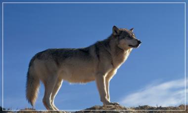 Talence / Les loups / atelier scientifique