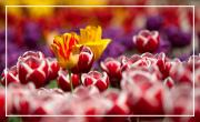 L'éveil de la Tulipe