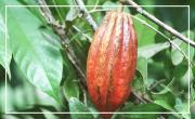Le cacao dans toute sa splendeur